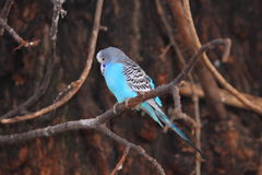 Blue budgerigar Stock Photos