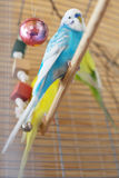 Blue budgerigar sitting in the cage. Selective focus, shallow depth of field Royalty Free Stock Images