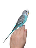 Blue budgerigar sitting on hand Royalty Free Stock Images