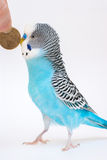 Blue budgerigar Royalty Free Stock Photo