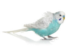 Blue Budgerigar on white background. With reflection royalty free stock photography