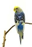 Blue budgerigars bird. Isolated on white background Stock Image