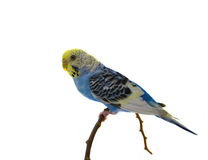 Blue budgerigars bird. Isolated on white background Royalty Free Stock Images