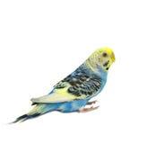 Blue budgerigars bird. Isolated on white background Stock Photo