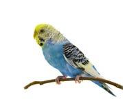 Blue budgerigars bird. Isolated on white background Royalty Free Stock Photography