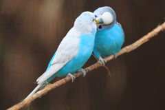 Blue budgerigars Royalty Free Stock Images