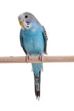 Blue budgie. Close up shot Stock Image