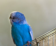 Blue budgie bird on cage Stock Photo