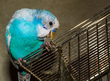 Blue budgie bird on cage Royalty Free Stock Photography