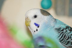 Blue budgie bird. Stock Images