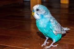 Blue budgie bird Stock Images