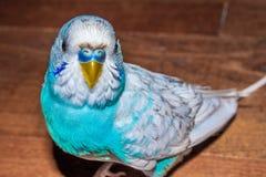 Blue budgie bird Stock Photo