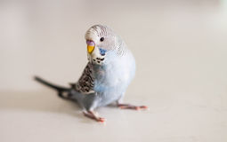 Blue budgie Royalty Free Stock Photography