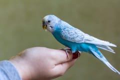 Blue budgie bird on hand Royalty Free Stock Image