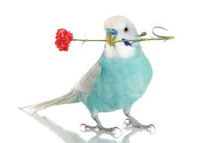 Blue budgie with a carnation Stock Photos