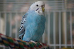 Blue Budgie on colorful perch. Royalty Free Stock Photography