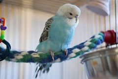 Blue budgie on colorful rope perch. Australian blue and white budgie sitting on colored rope perch inside a white cage royalty free stock photography