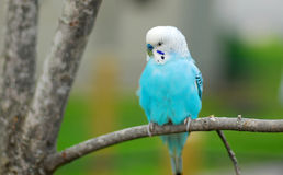 Blue budgie parrot pet bird Stock Photography