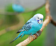 Blue budgie parrot pet bird Stock Images