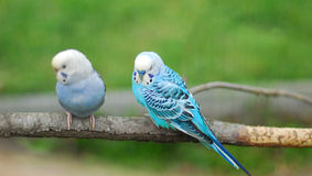 Blue budgie parrot pet bird Stock Photo