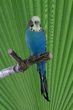 Blue budgie on perch. Male budgie sitting on a perch with green leaf in background Stock Image