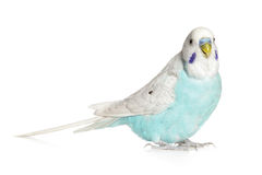 Blue budgie on a white background Royalty Free Stock Images