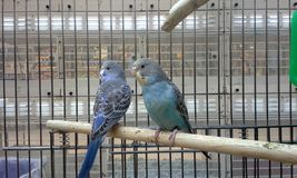 Blue Budgies Royalty Free Stock Photography