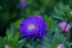 Blue buds of Aster. On the green bed Stock Photo