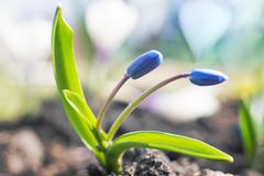Blue buds of the spring flower Scylla. In the garden royalty free stock image