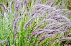Blue buffalo grass Stock Photo