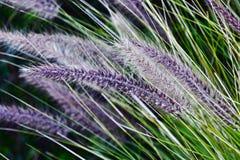 Blue Buffalo grass Stock Photo