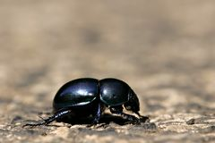 Blue bug. Blue dung beetle (Anoplotrupes stercorosus) on road in sunshine Royalty Free Stock Photo