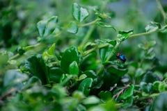 Blue Bug Stock Image
