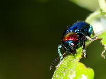 Blue bug, tropical beetles Royalty Free Stock Photography