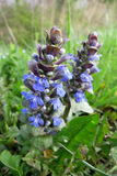 Blue Bugle or Bugleweed (Ajuga reptans) Royalty Free Stock Image