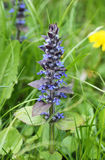 Blue bugle. Close photo of blooming blue bugle Ajuga reptans in spring Royalty Free Stock Photography