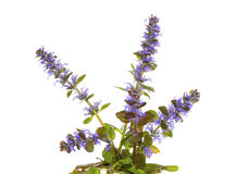 Blue bugle herb, or Ajuga reptans, flowers. Isolated plant of the bugle herb, or Ajuga reptans, with its pretty blue flowers, used in herbal medicine to stem Stock Photography