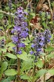 Blue bugle plants. Plants of blue bugle, flowers and leaves Stock Image