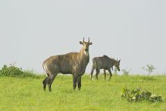 Blue Bull in the Grassland Stock Image