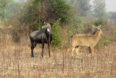 Blue bull male and female in tropical indian forest Stock Images