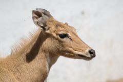 Blue Bull Nilgai Antelope Closeup Side profile. Blue Bull Nilgai Antelope Boselaphus tragocamelu closeup side profile in which ears, eye, nose , head and neck royalty free stock photography