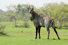 A Blue Bull, or Nilgai Antelope, doing his Business! Royalty Free Stock Photo
