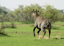 A Blue Bull, or Nilgai Antelope, running away. A nilgai antelope (or blue bull) in Bharatpur national park, Rajasthan, India Royalty Free Stock Photography