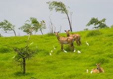 Blue bull young pair. Blue Bull or Neelgai Boselaphus tragocamelus pair in the Grass. Some Cattle Egrets are also visible with them stock image