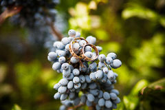 Blue bunch grapes and wedding rings Stock Images