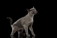 Blue Burmese Kitten on Isolated black background Royalty Free Stock Image