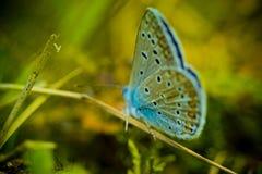 blue buterrfly Royaltyfri Bild