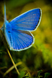 Blue buterrfly. Vivid blue butterfly in nature Royalty Free Stock Photo