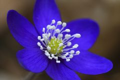 Blue buttercup. Macro blue buttercup or hepatica nobilis flower in bloom Royalty Free Stock Images