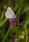 Blue butterflies - Common Blue (Polyomathus icarus). Common blue butterfly (Polyommatus icarus), at rest on pink Marjoram flower wing open Stock Photo